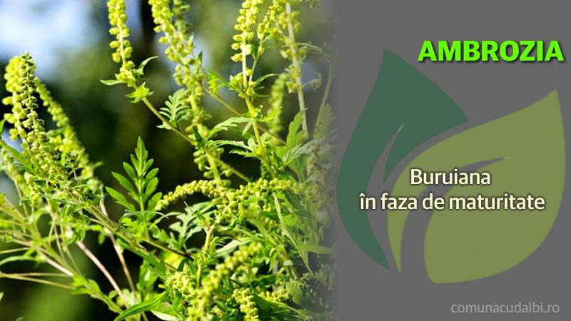 Ambrosia Buruiana in faza de maturitate Comuna Cudalbi_800x450