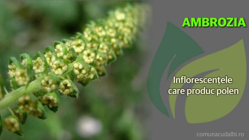 Ambrosia Inflorescenţele care produc polen Comuna Cudalbi_800x450