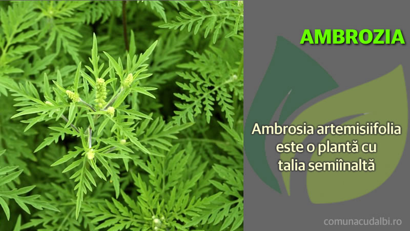 Ambrosia artemisiifolia este o plantă anuală Comuna Cudalbi_800x450
