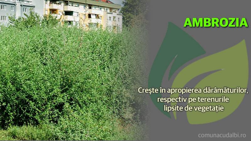 Ambrosia crește în apropierea dărâmăturilor Comuna Cudalbi_800x450