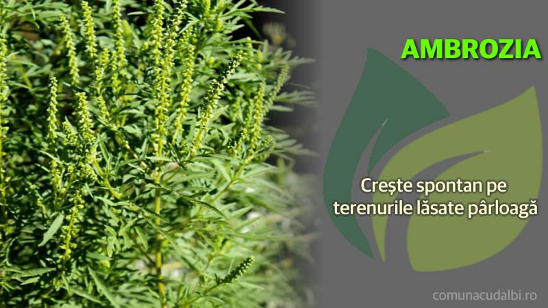 Ambrosia crește spontan pe terenurile lăsate pârloagă Comuna Cudalbi_800x450