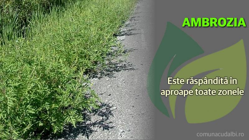 Ambrosia răspândită în aproape toate zonele Comuna Cudalbi_800x450