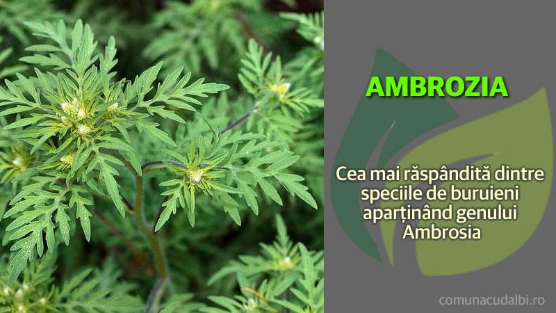 Ambrozia Cea mai răspândită dintre speciile de buruieni Comuna Cudalbi_800x450