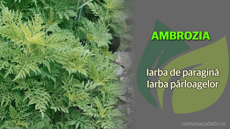 Ambrozia iarba de paragină iarba pârloagelor Comuna Cudalbi_800x450