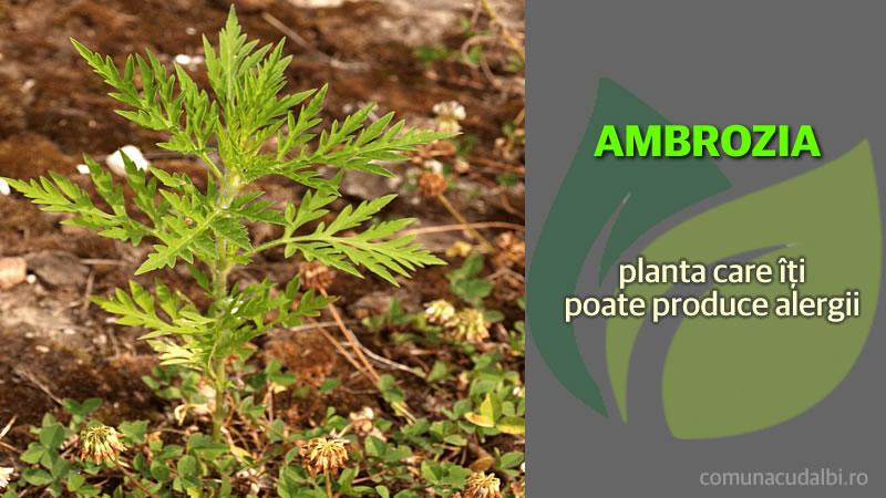 Ambrozia planta care produce alergii Comuna Cudalbi_800x450